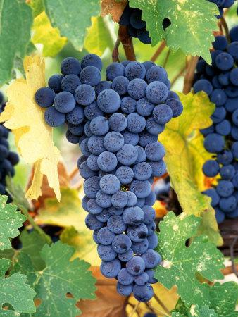 Cabernet-Sauvignon-Grapes