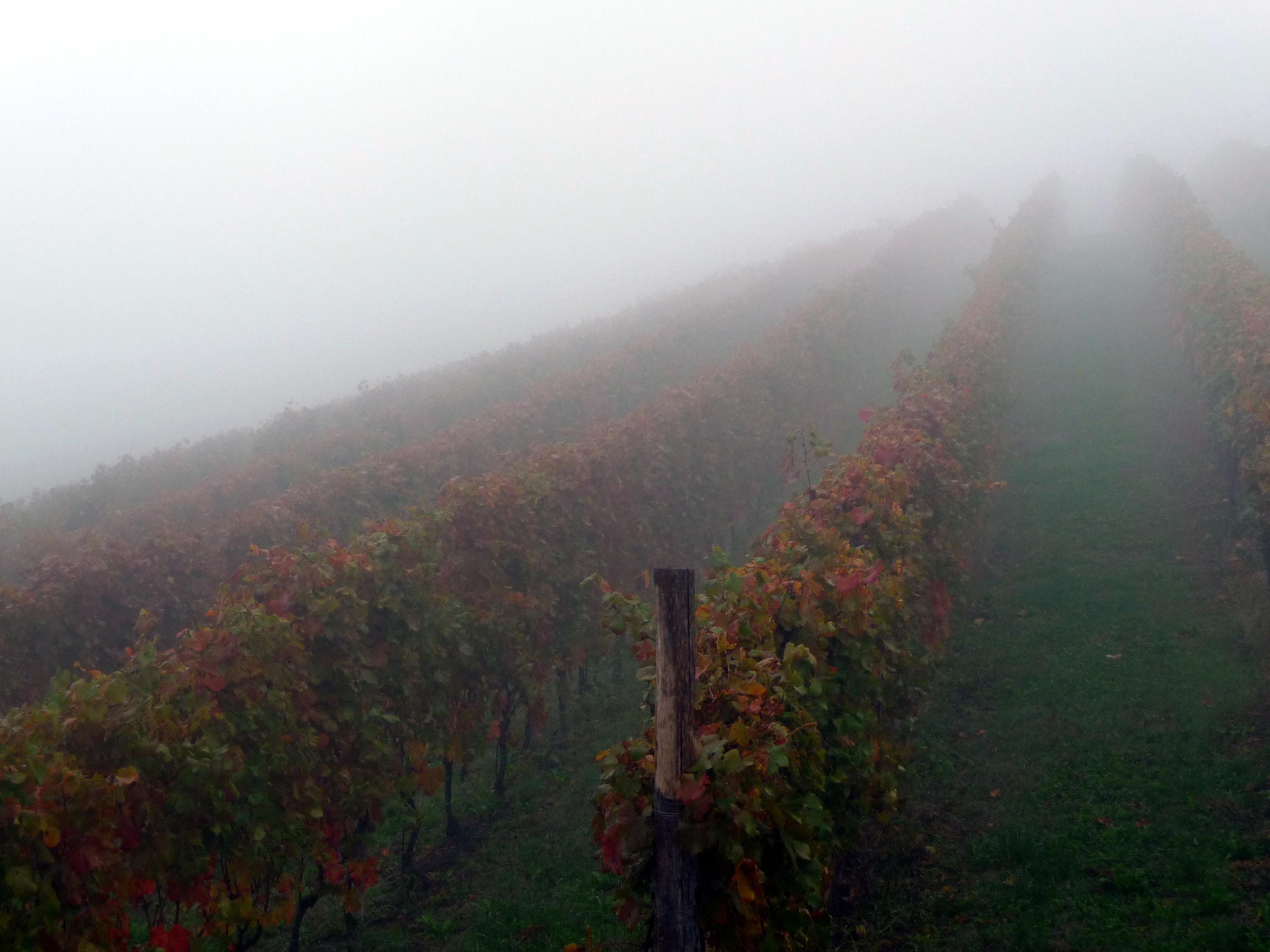 Langhe_vineyard
