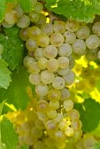 riesling-wine-grapes
