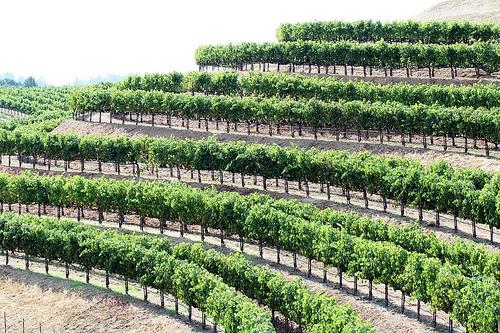 Spring Mtn Vineyard
