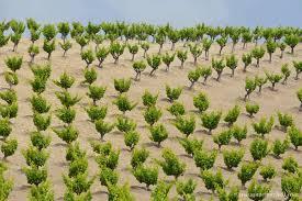 Gobelet vineyard