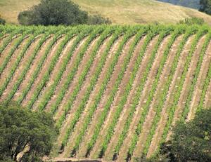 vine-rows